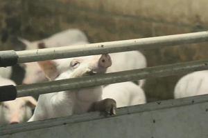 Te zwierzęta skazuje się na okrutne cierpienia. Jest jedna przyczyna - są matkami