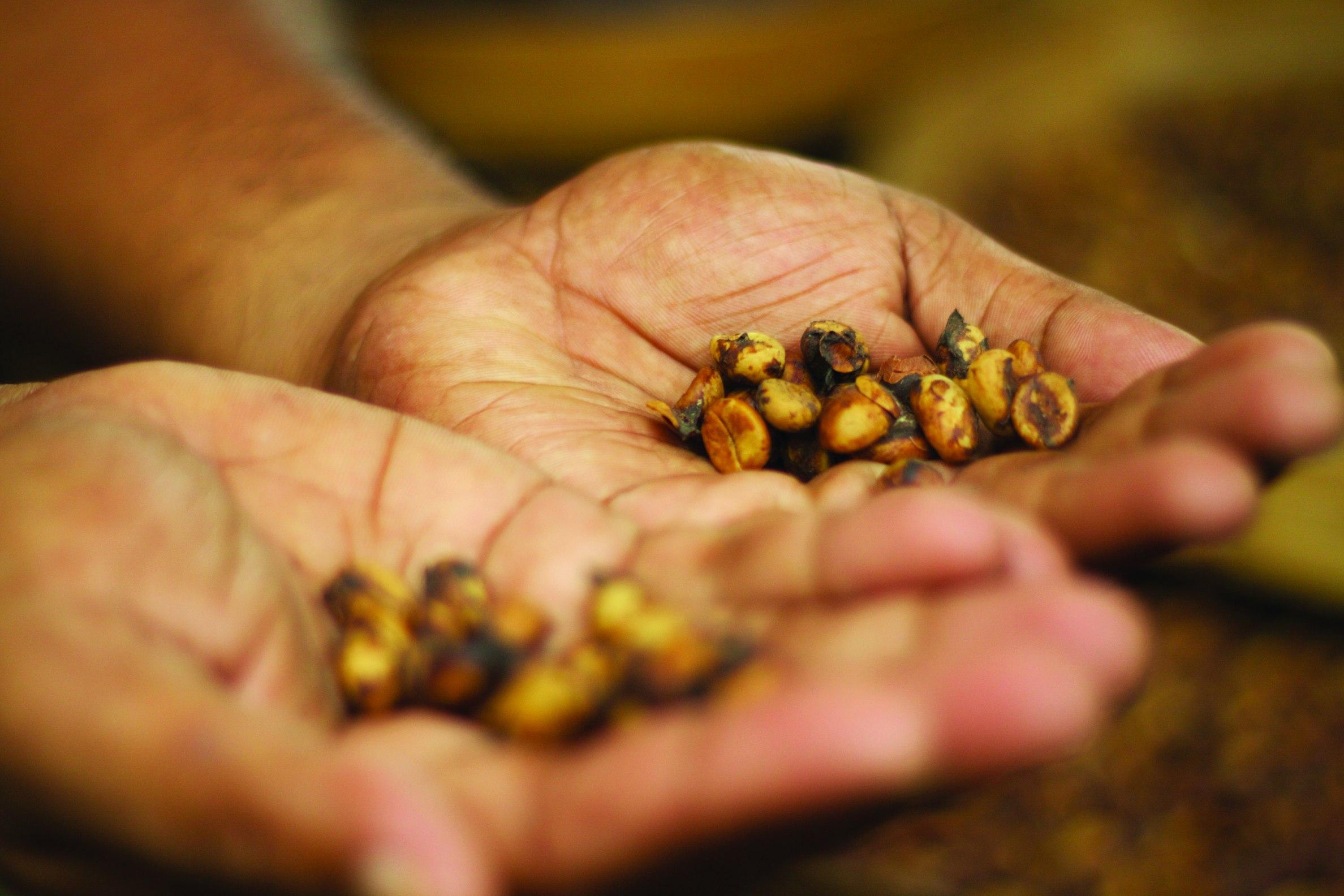Ziarna najdroższej kawy na świecie kopi luwak, nadtrawione i wydalone przez cywetę (fot. McKay Savage / Flickr.com / materiały prasowe)