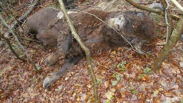 Leśnicy znajdują okaleczone zwłoki żubrów. I na pewno nie zrobił tego człowiek