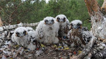 Wykluły się cztery młode. To jeden z najrzadszych gatunków w Polsce