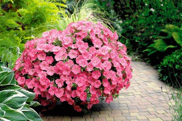 petunia, balkon, taras,kwiaty na balkon