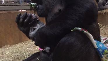 Mama gorylica urodziła właśnie pierwsze dziecko. Niewiele różni ją od człowieka