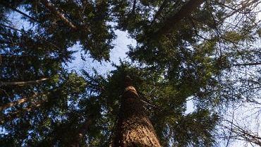 Odkryli najwyższe drzewo w Polsce. Wcale nie w Puszczy Białowieskiej