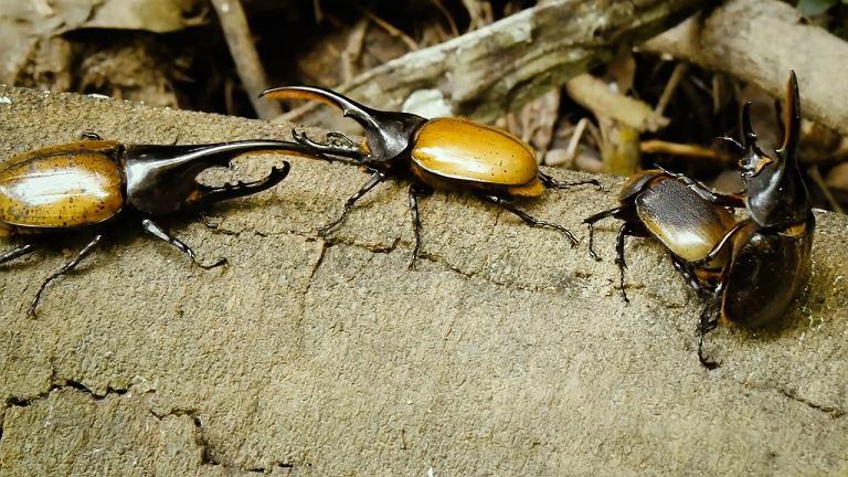 Tak rozwija się największy chrząszcz świata. Jego droga do dorosłości jest  fascynująca