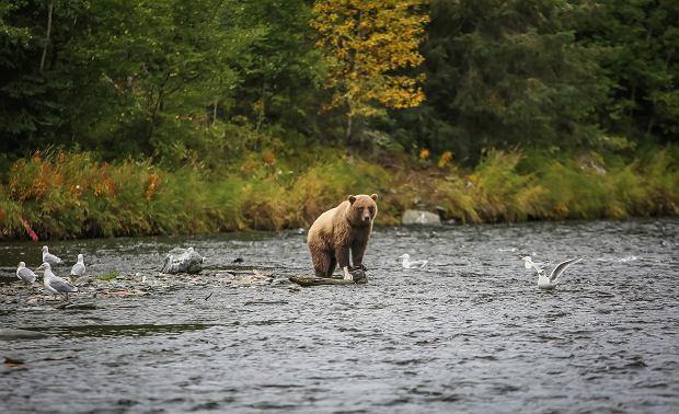 Śpiąc na dziko na Alasce lub w Kanadzie, trzeba być przygotowanym na wizytę niedźwiedzia