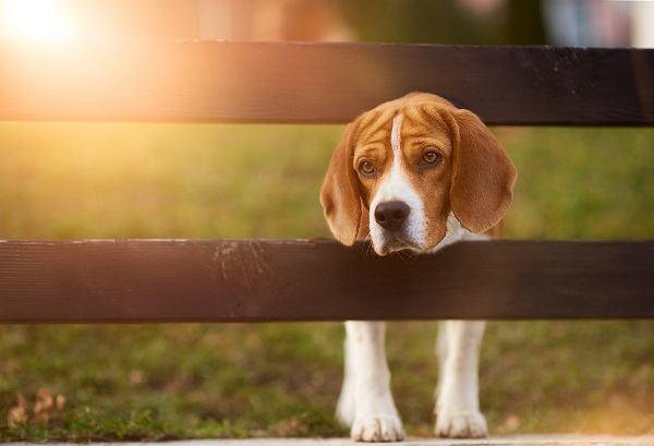 ''Niektórzy, zanim postawią psu miskę z jedzeniem, udają, że pierwsi z niej jedzą''. Behawiorysta radzi, jak wychować czworonga
